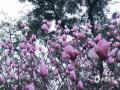 中国天气网广西站讯 近日,柳州市区的玉兰花正逐渐绽放,在阴雨天气中透露出一丝春意。目前,雀儿山公园、龙潭公园等地的玉兰开得正艳,满树花香,花叶舒展而饱满。据了解,玉兰花花期较为短暂,提醒爱花的市民不要错过花期。另外,最近一段时间阴雨天气较多,还请市民外出时备好雨具。(图文/廖婷婷)