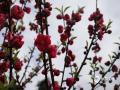 中国天气网广西站讯  自从2月9日以来,环江持续阴雨天气,今日(21日)阴雨天暂歇,下午迎来了久违的阳光,环江八戒山公园里的桃花盛开了,盛开的桃花引无数游客前来观赏。据公园管理员介绍,春节期间,环江天气暖和,桃花含苞待放,可自9日以来,环江持续低温阴雨,气温较往年偏低7度,待放的花朵受冻,出现了部分花朵凋零枯萎现象。不过这并没有影响游客赏花的心情,大家纷纷拿出手机、相机与桃花合影。(图文/梁丽娜)