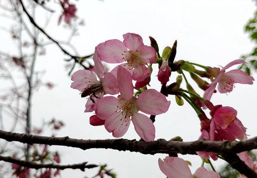 玉林阴雨樱花开春满园