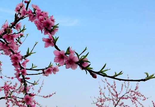 春天来桂林海洋赏桃花