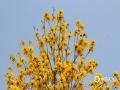 """中国天气网广西站讯 """"枝头见花不见叶,一路金黄一路香""""。最近,柳州市区大街小巷的黄花风玲木竞相绽放,金灿灿的花朵甚是惹人喜爱。今天(30日),柳州阳光明媚,天气温暖,不少市民趁着这难得的好天气前去观赏拍照。(图文/韦莉)"""