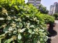 中国天气网广西站讯 告别了连续的阴雨天气,今日(16日)的桂林艳阳高照,盛放的七里香散发着清秀宜人的香气。七里香在桂林多见于主要干道、园林、小区,沿街修剪出球型,四、五月份是七里香盛开的季节,到处弥漫着浓郁的香气,使人闻了都陶醉在其中。(图文/胡静)