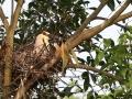 中国天气网广西站讯 来宾象州县马坪镇古德村前有片面积约二十亩的沼泽地,目前有数千只夜鹭、白鹭栖息于此,它们时而点缀枝头,时而飞到半空欢舞,或恬淡地梳理羽毛,或顽皮地打闹,形成了与自然和谐的美丽景观。图为4月16日,通讯员拍到的鹭鸟画面。(图/吴永才 文/苏庆红)