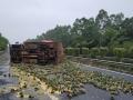 大货车侧翻菠萝撒满地