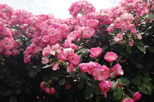 贵州安龙玫瑰迷宫引客来