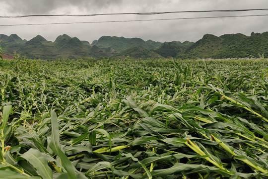 平果强风致乡镇玉米倒伏