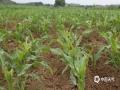 中国天气网广西站讯  5月22日,象州县马坪镇新庆村大部分玉米苗上发现外来入侵的草地贪夜蛾,农友们正积极采取措施应对害虫。据农业专家介绍,贪夜蛾对玉米危害极大,可致玉米大幅减产。据了解,今年4月15日至5月20日日照时数为96.9小时,较历年同期偏少39.8小时,期间多为阴雨天气为主,潮湿寡照的天气利于虫害多发。专家提醒种植玉米的农户,一定要加强防范,经常深入玉米田间查看虫情,积极主动开展草地贪夜蛾防控工作(文/涂燕清 图/吴永才)