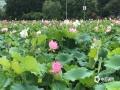 中国天气网广西站讯 6月2日,柳州市融水县西洞风光游览区的近千亩荷花已竞相绽放,吸引了众多游客前去观赏。(图文/蓝燕丹)