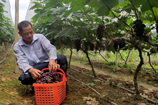 百色平果葡萄开采上市