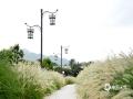 中国天气网广西站讯 7月11日,梧州市蒙山县湿地公园里,一大片狗尾巴草盛放,如梦如幻,吸引了不少游客前往观赏拍照。(文/马宇翔 图/张敏)