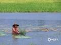 中国天气网广西站讯 受高空槽、切变线影响,12日-14日,广西遭遇新一轮强降雨袭击,桂林、柳州、河池、钦州、贺州等市多地出现城乡积涝、中小河流超警戒水位洪水、山体滑坡等灾害,给群众的交通出行及生活生产造成了不利影响。图为14日,钦州市灵山县的农民在打捞稻谷。(图/梁月丽 文/赵祖华 刘婷 李严萍 梁月丽 蒋敏霞 吴健杰)