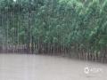 中国天气网广西站讯 受高空槽、切变线影响,12日-14日,广西遭遇新一轮强降雨袭击,桂林、柳州、河池、钦州、贺州等市多地出现城乡积涝、中小河流超警戒水位洪水、山体滑坡等灾害,给群众的交通出行及生活生产造成了不利影响。图为14日,钦州市灵山县树林被淹。(图/梁月丽 文/赵祖华 刘婷 李严萍 梁月丽 蒋敏霞 吴健杰)