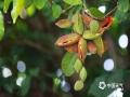 """中国天气网广西站讯 俗话说""""晴天芒果,落雨凤眼果""""。凤眼果,又称""""苹婆"""",本地话叫""""六旺果"""",耐涝不耐旱。由于雨水充足,利于凤眼果开花和坐果,今年横县凤眼树挂果量较往年多,目前已进入了成熟佳期。将凤眼果剥皮去壳,用各种肉类(羊肉、牛肉等)一齐烹调食用(焖、炖),有养胃、清肠道、清热祛湿、明目等功效,特别适合南方气候食用。(文/黄庆平 图/卜军波)"""