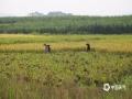 中国天气网广西站讯 近日,上思维持晴朗无云的天气,思阳镇、那琴乡的早稻大部分已经成熟,早稻的收割工作正在有条不紊的进行着,到处都是一片收获的景象。由于近日多高温天气,建议农友们注意休息,以防中暑。(文/李明学 图/王国安)