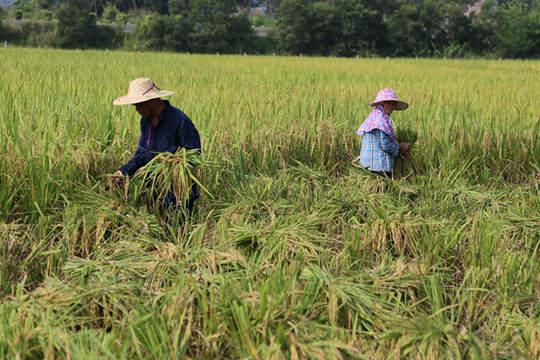 上思农民早稻收割忙