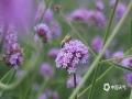 中国天气网广西站讯 近日,甘肃金昌紫金苑景区里成片的马鞭草花开得正旺,紫色的花儿傲放枝头,形成大片的花海,犹如一片紫色的云朵在地面停留着,格外美丽。紫金花海位于金昌市区北郊,和法国的普罗旺斯同样位于北纬38度的蓝天白云下,却处于戈壁荒漠中的紫荆花海让这里成了旅游火爆地。漫步其间,紫色的空气里充满清新的、淡淡的花香味,让人流连忘返。(文/胡静 图/彭夏颖)