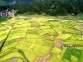 """时下,正值南方夏收夏种""""双抢""""农忙时节,河池市罗城仫佬族自治县农民迎高温战酷暑,积极开展早稻收割和晚稻播种栽插农业生产,确保全年粮食生产丰收。农村各地金黄的稻田、农民忙碌的身影与错落有致的村庄、远山,形成一幅幅和谐美丽的乡村风景画。(通讯员 廖光福)"""