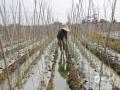 中国天气网广西站讯 近日,田阳气温居高不下,12日的日最高气温达到38.7度,酷暑难耐。高温天气下,田阳的果农们仍然坚持在烈日下辛勤照看着自家的果园。 根据最新的天气预报,未来2天田阳天气以多云,局部有阵雨天气为主,气温稍有下降,提醒果农在外劳作时注意防暑防晒。(文/王春娟 图/李明志)