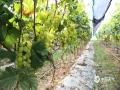 中国天气网广西站讯 9月3日,富川多云天气,白天气温在24—31℃,气候宜人。在富川县柳家葡萄自摘园内,游客正抓住最好的时令采摘葡萄。据园主介绍,现在园里的葡萄口感细腻,清脆爽口,正是赏味最佳时。(文/李诗婷 图/潘思榕)