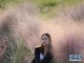 金秋时节,各地粉黛乱子草陆续进入盛开期,为当地秋色增添一道迷人风景。图为10月13日,市民在广西南宁市南宁大桥桥头美丽的粉黛乱子草边上留影。(摄影:新华社记者周华)