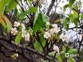 中国天气网广西站讯 梨花,本应是在春季开放,然而现在已经到了十月,桂林灌阳的梨花却又二次开放。15日,在灌阳米珠山万亩梨场,众多梨树花满枝头,这些梨花有的含苞欲放,有的娇嫩妩媚,有的洁白清丽,有的高贵大方,惹人喜爱。(图文/王熙军)