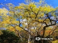 十月的香格里拉是上帝推翻的颜料盘,美得如梦如画,碧云蓝天、枝头嫣红、落叶秋黄,连绵的群山到无际的草地都被这撩人的秋色穿上了新衣。(文/李安琪 图/和丽云)