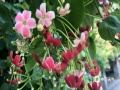 中国天气网广西站讯 近日,阳朔公园里的使君子花盛开,廊架下,层层浓密的绿叶间开出成片的红红白白的小花,和秋日的蓝天搭配,更显清新优雅。  走进廊架,翠绿的叶间一根根花枝交织开放,伞状花序鼎盛,细长的花管低垂,每一根花管上开出一朵小红花,就像烟花绽放一样。使君子花朵开放时先是白色,再转红,由于时间差,会同时出现红花、白花的情况,造成一树多色花的盛景。(文/胡静 图/吴芳芳)