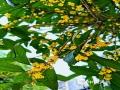 """中国天气网广西站讯 俗话说""""八月桂花遍地香"""",按照往年情况,在中秋前后就该有桂花陆续开放,而今年桂林及河池的桂花却因气温持续偏高,足足推迟了一个多月,才开始吐露芬芳。这几天气温不断下降,秋日气息渐浓,适度的低温使得当地的桂花树竞相开花,各个街道、公园、社区桂花浓香四溢,阵阵花香随风弥漫、沁人心脾。在厚重的绿叶下,一丛丛黄色小花正迎着秋日的暖阳绽放,吐露馨香。(文/吴丹 胡静 图/吴雨婧)"""