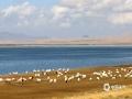 中国天气网广西站 青海湖位于中国青海省内青藏高原的东北部,是中国最大的湖泊,也是中国最大的咸水湖,深秋10月,湖面在太阳的衬下特别蓝,从远处望去蓝天与湖水仅是一线之隔,湖边的草地已呈现金黄色,成群的牦牛、绵羊正在享受阳光午餐。(图文/莫申萍)