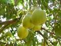 """中国天气网广西站讯  十一月,柳州融水县的糯米柚进入收获季节,果园里处处柚子飘香。在融水一生产基地,果农正忙着采摘、运输和储藏。据柚子园管理人员介绍,融水糯米柚在11月初开始采收,常温下贮藏保质期为5个月。融水糯米柚是在大苗山独特地理气候环境条件下,经长期种植选育出来的柚类品系,有""""果中珍品,天然罐头""""之美誉。其果肉汁胞呈蜜黄色,颗粒饱满,晶莹透亮,富有粘性,香气浓郁,似苗家蒸熟的糯米饭,故称为融水糯米柚。(图文/程倩倩)"""
