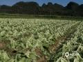 """中国天气网广西站讯 柳州鹿寨县平山镇的肉芥菜远近闻名,是制作酸菜的上等原材。近日天气持续晴好,空气干燥,正是芥菜收获的好时节。工人们忙着收割和晾晒芥菜,并把芥菜发往广东、海南等地,这批肉质肥厚的芥菜将成为各大批发市场和超市的""""抢手货""""。(图文/欧翎)"""