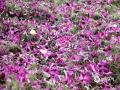 中国天气网广西站讯 11月18日早晨,都安县城区一场大雨飘洒,绿叶守红花,红花托绿叶,交相辉映。花枝上还缀满了花骨朵,有的含苞欲放,有的娇艳欲滴。伴着秋风瑟瑟,嫩紫色的紫荆花微微颤颤着,落到大地上,清冷的深秋一下子变得生动起来。(图文/黄丹虹)