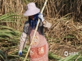 中国天气网广西站讯 近来,贵港糖料蔗陆续进入成熟期,今天(22日)贵港继续晴好天气,甘蔗地里也是一派忙碌的收割景象。(图/谢汶静 文/李婷)