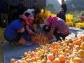 中国天气网广西站讯 金秋时节,正值柑橘飘香上市的时节,平果县马头镇一处柑橘园里挂满了红彤彤的果实,工人们正忙着采收搬运,一片丰收景象。(图/林金红 文/何翔)