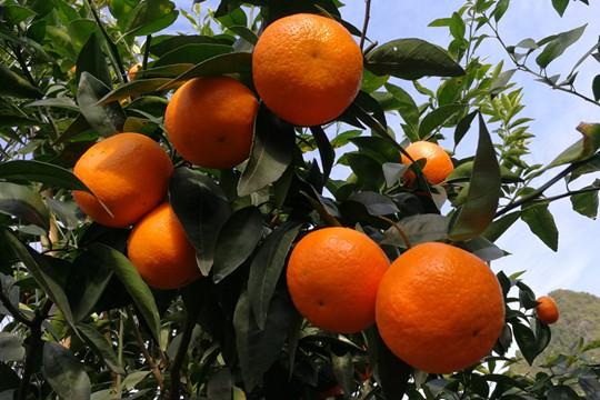 百色:平果采收柑橘