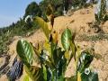 """中国天气网广西站讯 近期,广西持续晴朗干燥天气,受晴空辐射降温影响,各地早晚气温低,不少地区还出现了霜冻。为了避免霜冻影响砂糖桔的生长、收成,12月8日,荔浦市杜莫镇的果农为即将成熟的砂糖桔穿上了""""保暖衣""""——塑料薄膜。无独有偶,同日,防城港上思县那琴乡排柳村的果农们也给木菠萝树树冠盖上了塑料薄膜,以防止果树被冻伤。(图/朱宣儒 文/黄干淇 李明学 李会玲)"""