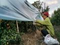 """中国天气网广西站讯 近期,广西持续晴朗干燥天气,受晴空辐射降温影响,各地早晚气温低,不少地区还出现了霜冻。为了避免霜冻影响砂糖桔的生长、收成,12月8日,荔浦市杜莫镇的果农为即将成熟的砂糖桔穿上了""""保暖衣""""——塑料薄膜。无独有偶,同日,防城港上思县那琴乡排柳村的果农们也给木菠萝树树冠盖上了塑料薄膜,以防止果树被冻伤。(图/李会玲 文/黄干淇 李明学 李会玲)"""