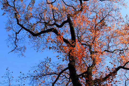 融安阳光正好枫叶正红