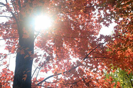 柳州枫香树迎最佳观赏期