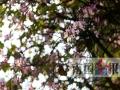 广西新闻网-南国今报记者颜篁 虽然是冬天,但这几天柳州市区的气温都超过了20℃。一些路段的紫荆花耐不住寂寞,悄悄开放了。1月8日,记者在弯塘路、友谊路上,看到多棵树上的紫荆花在冬日里迎风摇曳。据了解,这种反季节开花的情况往年也有,但今年开得花特别多。另外,鹅山路二区的一棵大芒果树也结满了芒果,拳头大的果挂满了枝头。