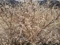随着天气转暖,连日来,崇左大新县榄圩乡武姜村种植的6000亩青梅树争相开放。漫山遍野的花,从山顶铺散到山谷下,蔚为壮观。