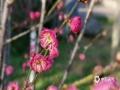 中国天气网广西站讯 在经过了连续几天的寒风冷雨之后,昨天(11日)桂林的暖阳回归,西山公园的梅花开始傲立枝头,错落有致的枝条上缀满了含苞欲放的花骨朵儿,和煦的阳光下零星几朵绽放的梅花显得格外娇俏,姿态可人。现在正值梅花开放的花期,逐渐开放的各处梅花成为了寒冷中难得的雅致景色,除了西山公园,市民们也可到穿山公园、园林植物园、虞山公园和木龙湖景区等多处赏梅。(图文/胡静)