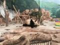 """广西新闻网南宁1月15日讯(记者李香莹 林风眠)1月15日上午,南宁市动物园举行大熊猫保护教育科普系列活动暨大熊猫苑开放仪式,期盼已久的""""国宝""""大熊猫""""绩美""""、""""绩兰""""终于跟游客见面了,快跟随记者的镜头抢先看萌萌的大熊猫。"""
