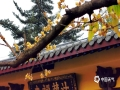 中国天气网广西站 21日,桂林天空阴沉,下着小雨,西山公园的法藏禅寺里,盛开的腊梅金黄色的花朵挂满枝头,幽香四溢,为冬日增添了一抹亮,现在正是观赏腊梅的好时机。(图文/李岩)