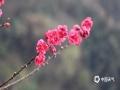 中国天气网广西站讯 18日,东兰阳光正好,微风不燥,气温也悄然回升,气象局院内的桃花肆意绽放,姿态丰盈,玫红色的花朵远看如一片片粉霞,惹人喜爱。(图/文 覃宏宇)