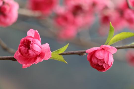 东兰晴暖桃花开