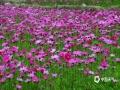中国天气网广西站讯 丽人如花花如海,绿水如玉山如黛。连日来,随着气温的回升,百色隆林县者浪乡那隆花田大片格桑花迎风绽放。(图文/尹华军)