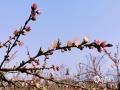 中国天气网广西站讯 春日回暖,桃花嫣然枝头笑。2月22日,桂林市恭城县西岭镇的桃花已悄然盛开,浅浅的粉色点缀在山野之间,美不胜收。(图文/严春梅)