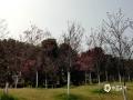 中国天气网广西站讯  2月23日,广西玉林市暖阳和煦,春风轻拂,五彩田园里的各色花朵竞相开放,樱花、桃花、紫金花纷纷绽放在美丽的春色中,构成一幅生机盎然的绝美春景图。(图文/张容菁)