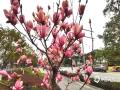 中国天气网广西站讯 近日桂林气温逐渐回暖,2月25日桂林市滨北路的紫玉兰花开放了,一阵风吹过,紫红色的花朵从树上飘落,诉说春的到来。(图文/李岩)